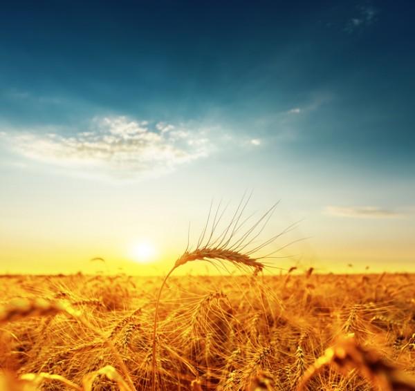 golden harvest under dark blue cloudy sky on sunset. soft focus on bottom of picture
